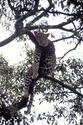 Leopard hanging in a tree